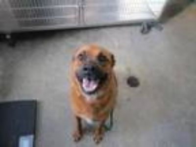 Adopt Gracie (See Memo) a Brown/Chocolate Chow Chow / Shepherd (Unknown Type) /