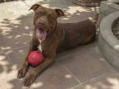 Adopt CHER a Brown/Chocolate - with White American Pit Bull Terrier / Mixed dog