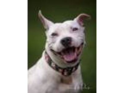 Adopt Maddie a Pit Bull Terrier