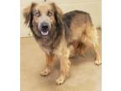 Adopt WINSTON a Brown/Chocolate - with Tan German Shepherd Dog / Anatolian
