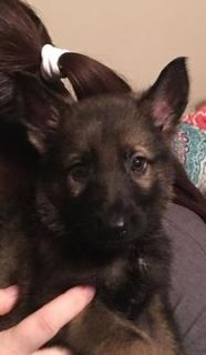 German Shepherd Dog PUPPY FOR SALE ADN-62987 - Beautiful German Shepherd pups