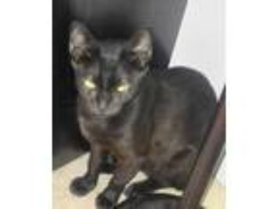 Adopt Grace a All Black Domestic Shorthair / Mixed (short coat) cat in Fort