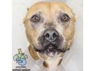 Adopt Peggy a Tan/Yellow/Fawn American Pit Bull Terrier dog in Knoxville