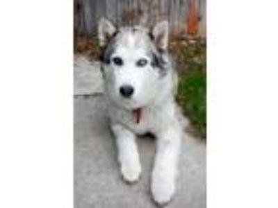 Adopt Lucy a Siberian Husky