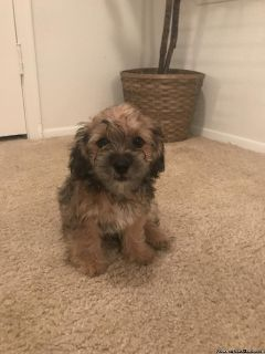 Yorkie Bear Puppies for Sale!!! Ready to GO!