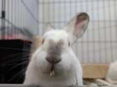 Adopt Cousteau a Bunny Rabbit