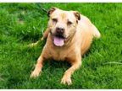 Adopt Brooklyn a Pit Bull Terrier