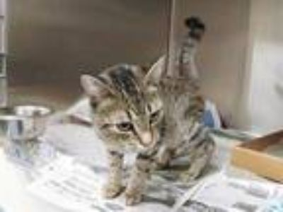 Adopt JAZZY a Brown Tabby Domestic Shorthair / Mixed (short coat) cat in