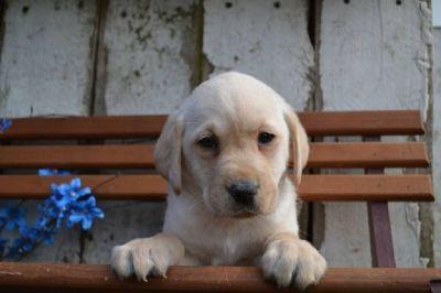 Riley Male Labrador Retriever