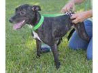 Adopt Deena Rae a Terrier