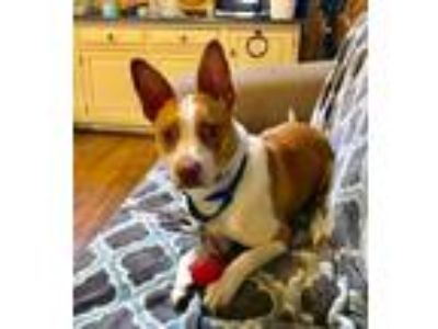 Adopt Belle a Pharaoh Hound, Cattle Dog