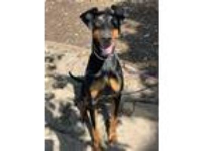 Adopt QUINN a Black - with Tan, Yellow or Fawn Doberman Pinscher / Mixed dog in