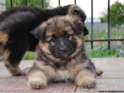 expecting phenomenal smart german shepherd