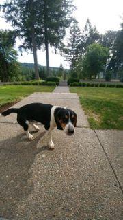 Beagle PUPPY FOR SALE ADN-96201 - Beagle Pure breed