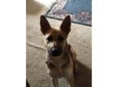 Adopt Ada a German Shepherd Dog / Mixed dog in Bowmansville, NY (25296808)