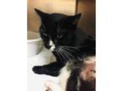 Adopt PYRO a Black & White or Tuxedo Domestic Shorthair / Mixed (short coat) cat