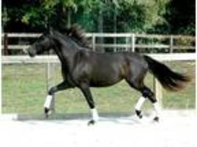 Brilliant Moving Black Andalusian Dressage Mare