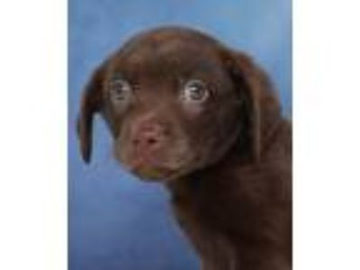 Adopt Gingham a Brown/Chocolate Catahoula Leopard Dog / Mixed dog in Encinitas
