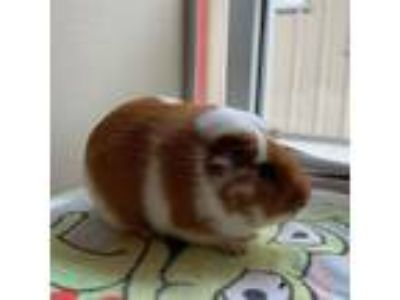 Adopt Gambino a Guinea Pig small animal in Monterey, CA (25567811)