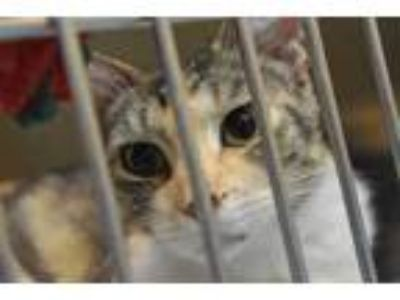 Adopt FLO a Calico or Dilute Calico Domestic Shorthair / Mixed (short coat) cat
