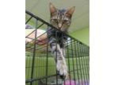 Adopt Bubbles a Tan or Fawn (Mostly) Domestic Shorthair / Mixed (short coat) cat