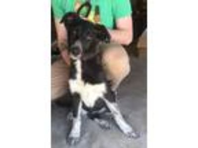 Adopt Brooklyn a Black - with White Collie / Shepherd (Unknown Type) / Mixed dog