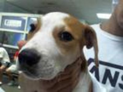 Adopt a White - with Red, Golden, Orange or Chestnut Boxer / Mixed dog in