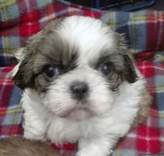 Registered shih tzu Puppies For Re