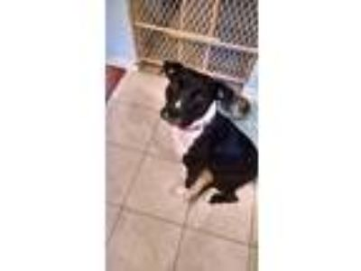 Adopt Diamond a Black - with White Labrador Retriever / German Shepherd Dog /