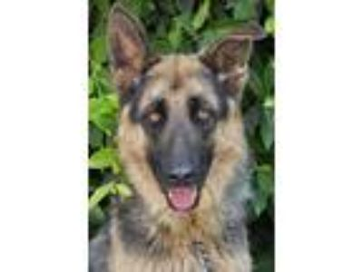 Adopt Bass von Stabfurt a Black - with Tan, Yellow or Fawn German Shepherd Dog /