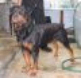 Benji Rottweiler Dog