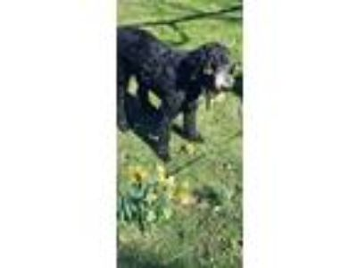 Adopt Graci a Black - with White Poodle (Standard) / Old English Sheepdog dog in