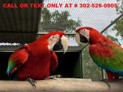 Male and Female Green wing scarlet macaw parrots