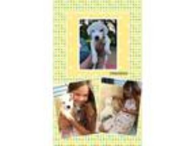 Adopt Timmy PENDING P/U a White - with Gray or Silver German Shepherd Dog /