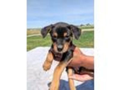 Adopt Angela a Black - with Tan, Yellow or Fawn Dachshund / Mixed dog in denver
