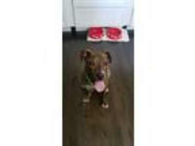 Adopt Danvers a Brindle - with White American Pit Bull Terrier / Mixed Breed