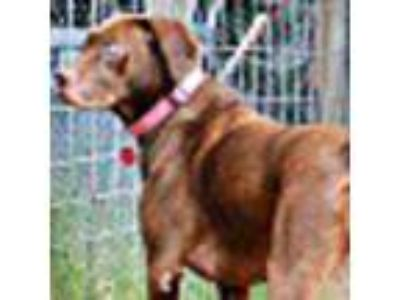 Adopt Xenq a Brown/Chocolate Labrador Retriever / Pit Bull Terrier / Mixed dog