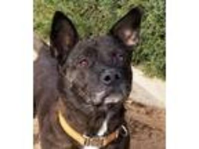 Adopt Precious Ms Porgi the Shorgi a Corgi, Dutch Shepherd