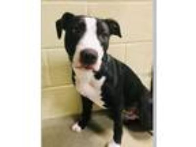 Adopt Prada a Black - with White Labrador Retriever / Boxer / Mixed dog in