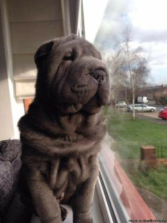 experience Shar pei puppies