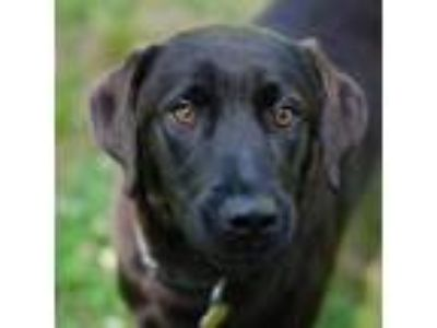 Adopt Balayage a Black Labrador Retriever dog in Auburn, AL (25273507)