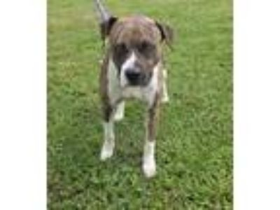 Adopt Tommy a Brindle Boxer / Mixed dog in Pickens, SC (25237765)