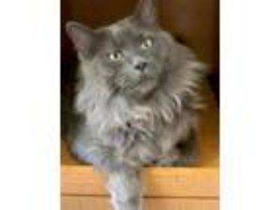 Adopt Murray a Gray or Blue Russian Blue / Domestic Shorthair / Mixed cat in
