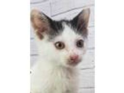 Adopt 41914150 a White Domestic Shorthair / Domestic Shorthair / Mixed cat in