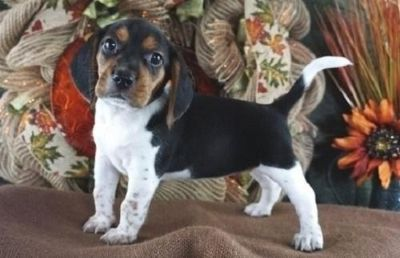 chaste Beagle Puppies available