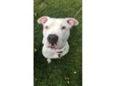 Adopt Ghost a American Staffordshire Terrier