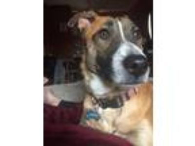 Adopt Maverick a Tan/Yellow/Fawn - with White German Shepherd Dog / Australian