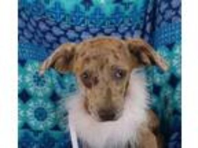 Adopt Brooklyn a Terrier