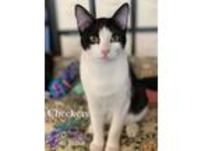 Adopt Checkers a Black & White or Tuxedo Domestic Shorthair / Mixed (short coat)