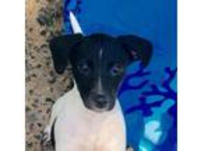 Adopt Janet a Jack Russell Terrier, Beagle